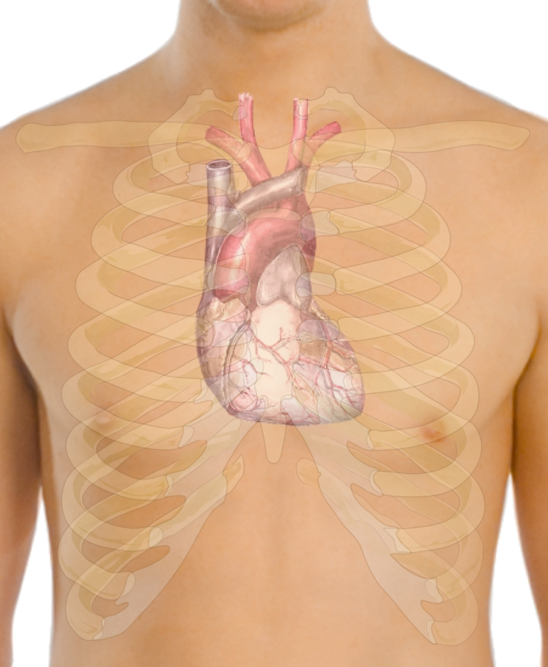 800px-Surface_anatomy_of_the_heart